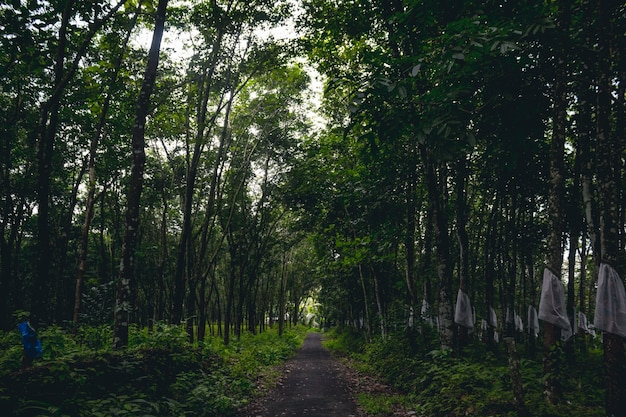 Road though rubber tree plantation