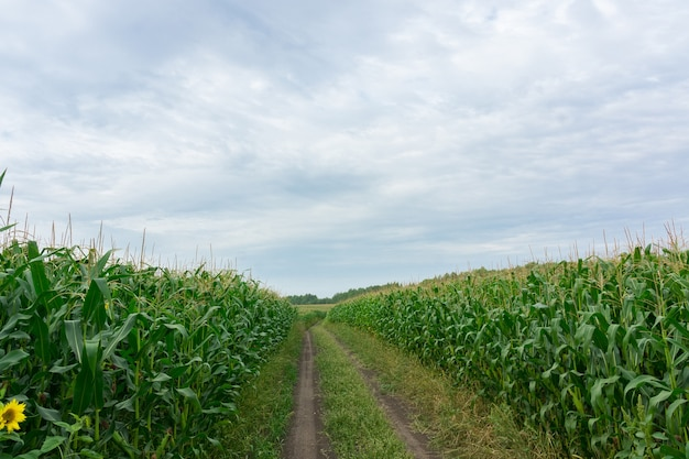 Road through corn fields