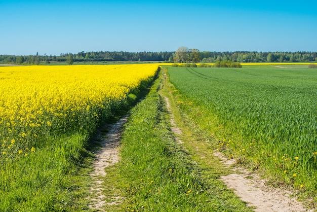 ラトビアの開花菜の花畑を通る道路。 Premium写真