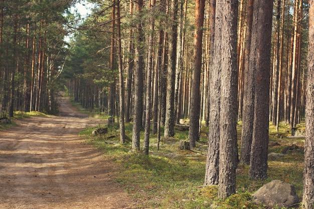ほっそりしたまっすぐな松のある森の中の道。