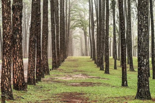Дорога через сосновый лес, вид на сосны в хвойном лесу