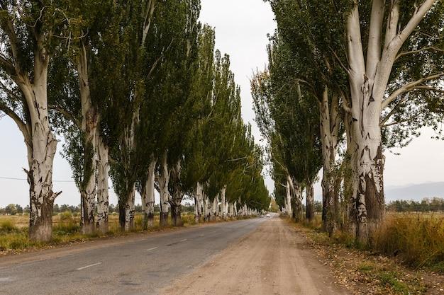 ポプラの木のある道路、カラコル、キルギスタン