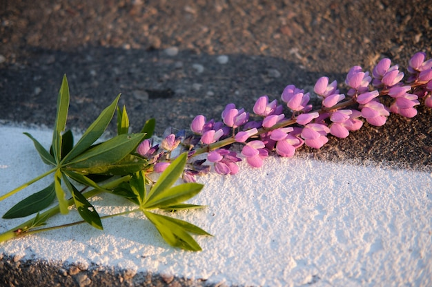 흰색 줄무늬 표시와 외로운 루팡 꽃이 있는 도로