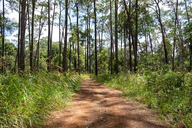 Дороги и сосны в лесу тхунг салаенг луанг