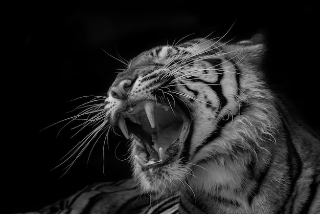 Roaring tiger in black and white