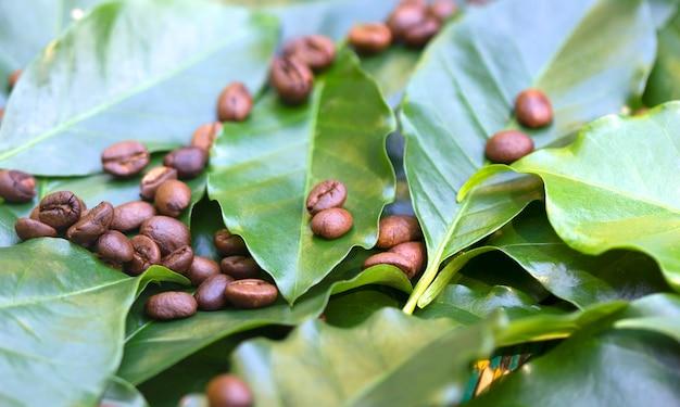 Жареные кофейные зерна на фоне свежих зеленых кофейных листьев