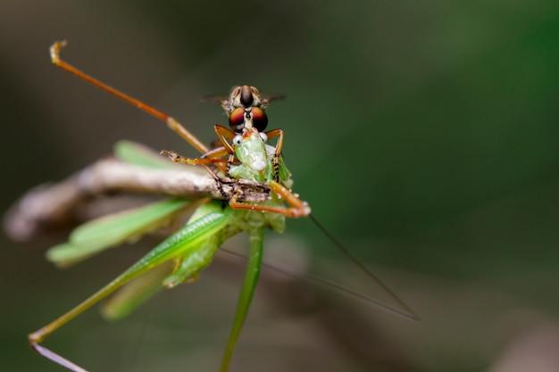 녹색 잎에 메뚜기를 먹는 강도 비행