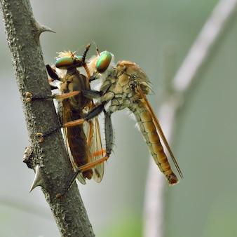 Разбойник fly (promachus hinei)