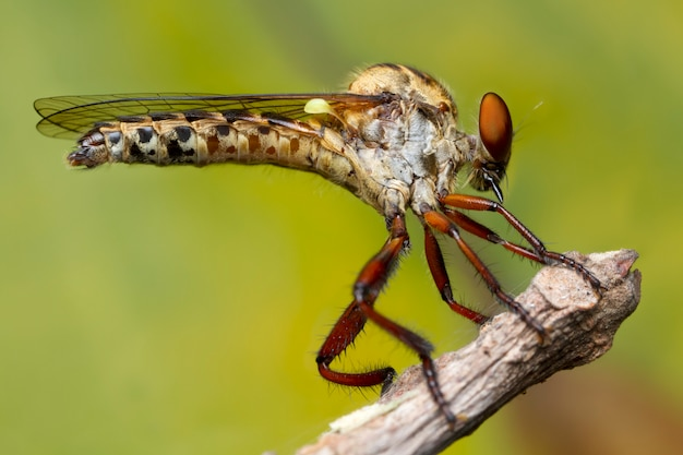 Robber fly on tree branchin nature