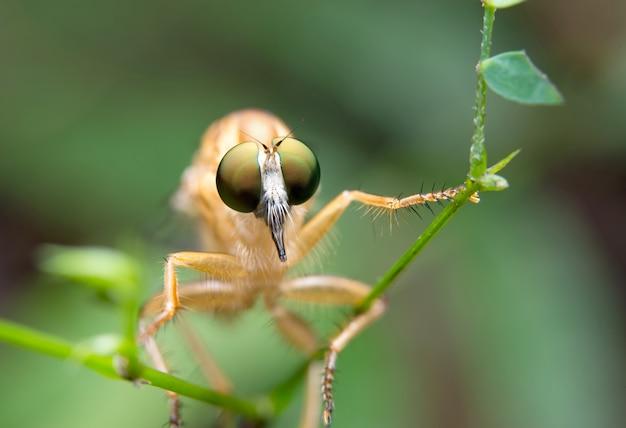 Грабитель мухи
