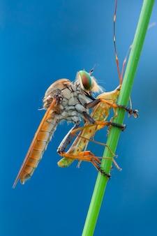 쌀 귀 버그를 먹는 robberfly