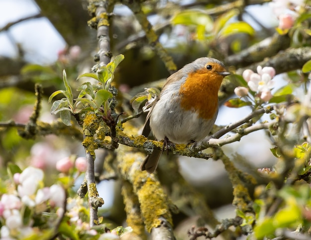 Robin perched on flowering tree branch