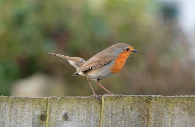 Robin redbreast bird standing on wooden board in a park