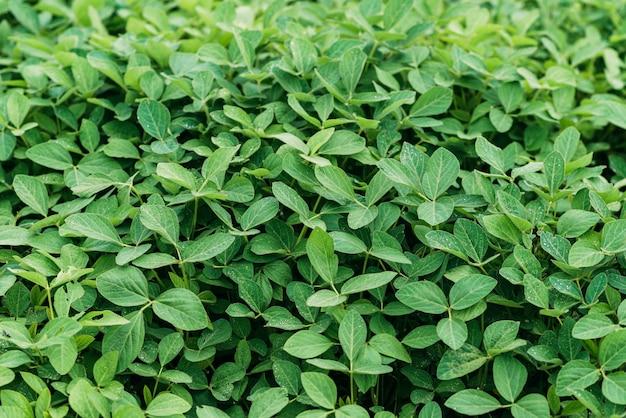 들판에 튼실한 콩 잎. 녹색 배경 농업입니다. 부드러운 선택적 초점입니다.
