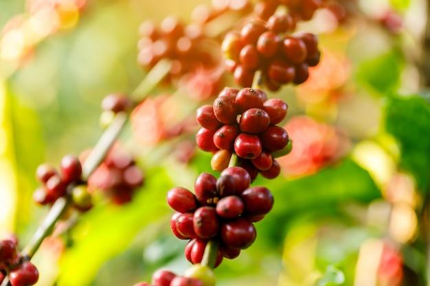 Зерна кофе робуста созревают на дереве на севере таиланда