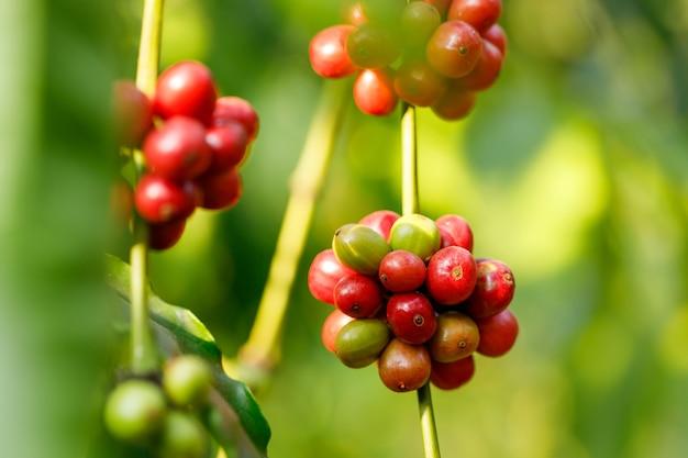 タイ北部の木に熟しているロブスタコーヒー豆