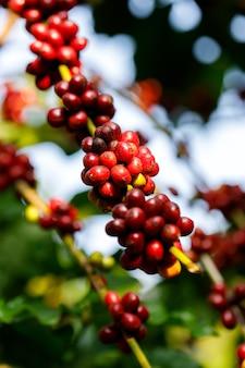 タイ北部の木で熟しているロブスタコーヒー豆