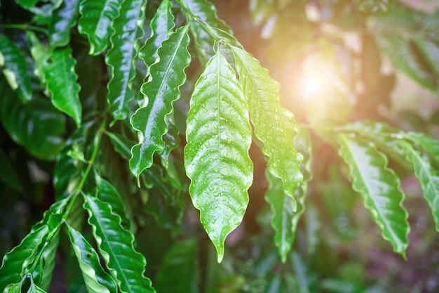 Robusta coffee leaf with dew drop in coffee garden