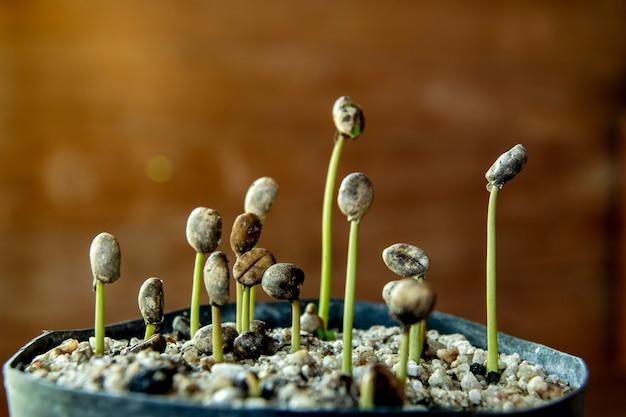 Robusta coffee seedlings in the nursery