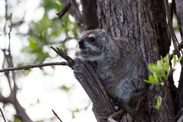木の枝に座っている岩アナグマ