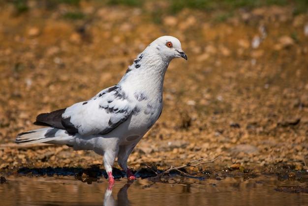 Скала голубь columba livia стоит в воде