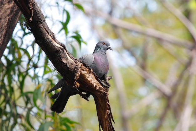 Rock pigeon columba livia beautiful birds of thailand