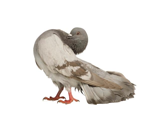 Рок голубь на белом изолированные