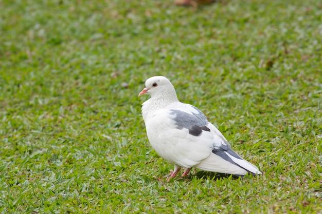 Rock pigeon rock dove columba livia beautiful birds of thailand