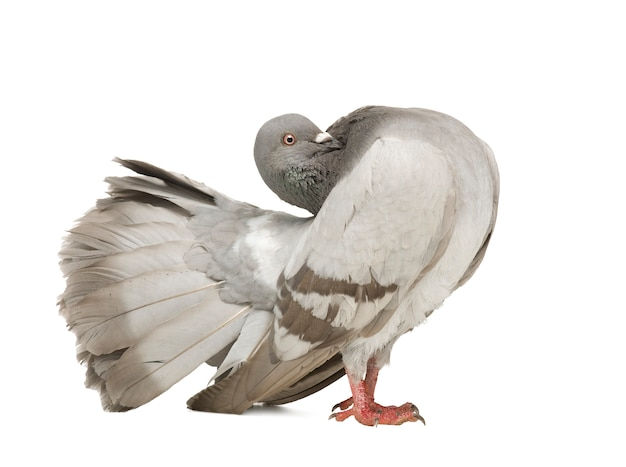 Rock pigeon on a white isolated