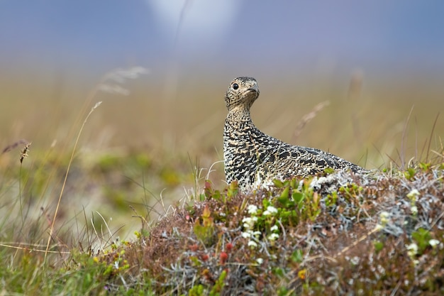 Rock ptarmigan, lagopus muta, female sitting on stone in summer. patterned grey bird observing on grass in iceland. wild spotted feathered animal looking on meadow.