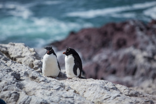 Rockhopper penguins sitting on the rocky beach