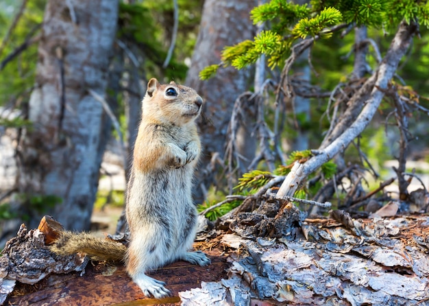 Rodent on dry tree in green forest.