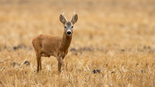 Roe deer buck approaching on stubble field in summer