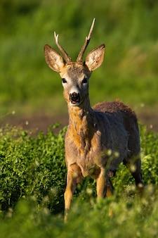 Roe deer buck approaching at sunrise