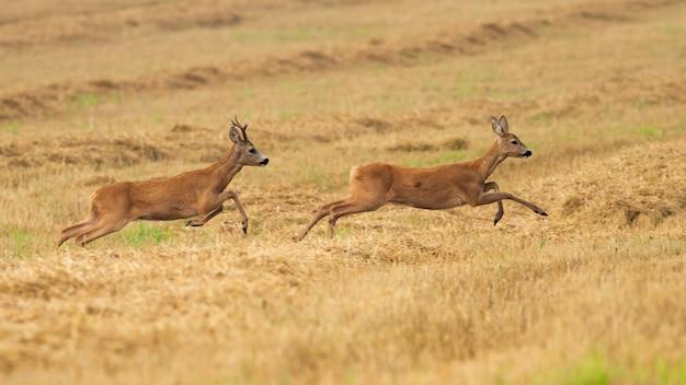 Косуля гоняется за оленем на сухой стерне в летний сезон гона