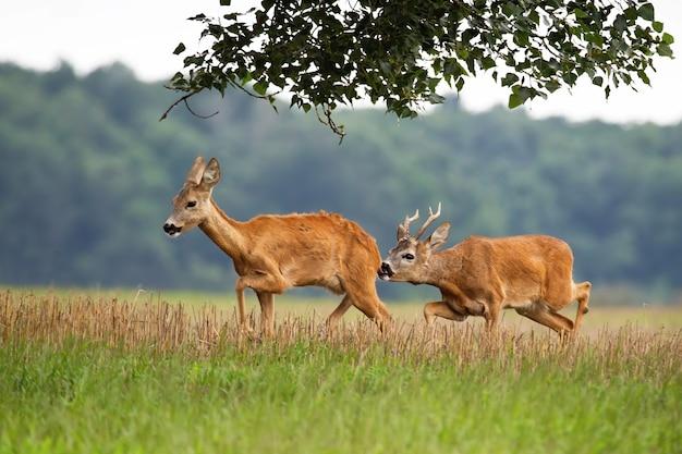 Roe deer buck following doe on field in summertime.