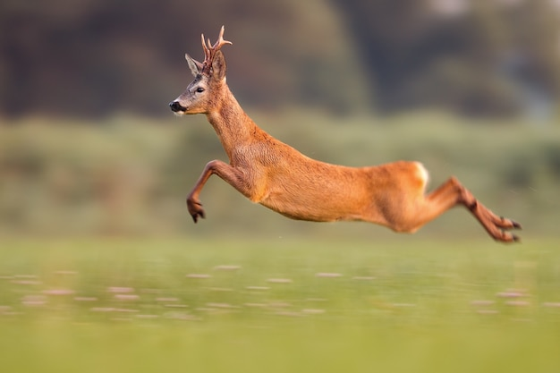 Roe deer buck jumping high in summer nature while running fast