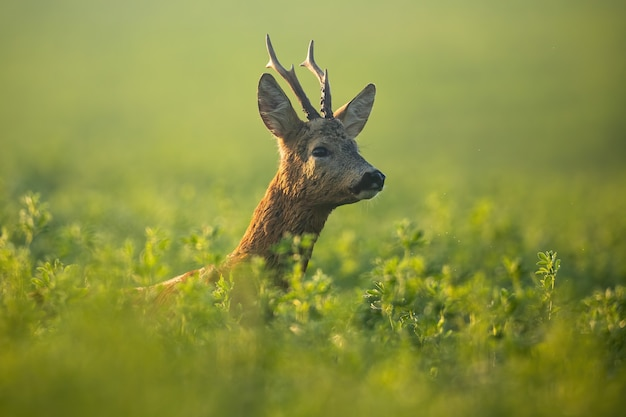 Roe deer buck looking for mate in rutting season in the morning sunshine