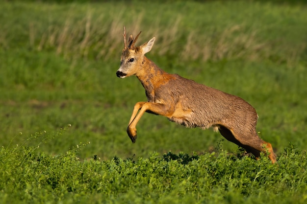 Roe deer buck loosing fur and jumping while running in spring nature