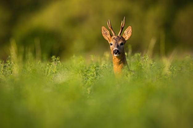 Самец косули выглядывает из травы в летней природе.