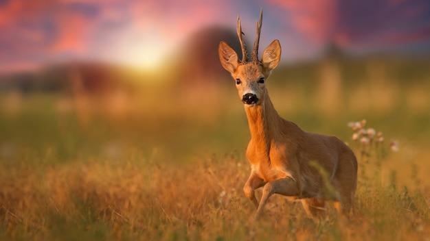 Самец косули бежит ближе на лугу летом на закате
