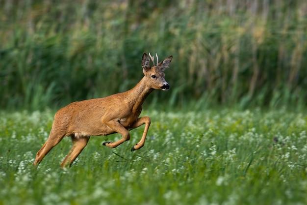 Косуля быстро бегает по лугу с зеленой травой и цветами летом