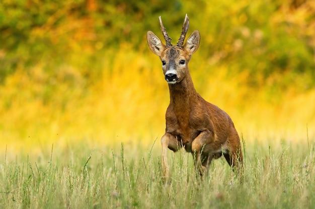 Самец косули бежит по лугу, залитому вечерним светом в летней природе