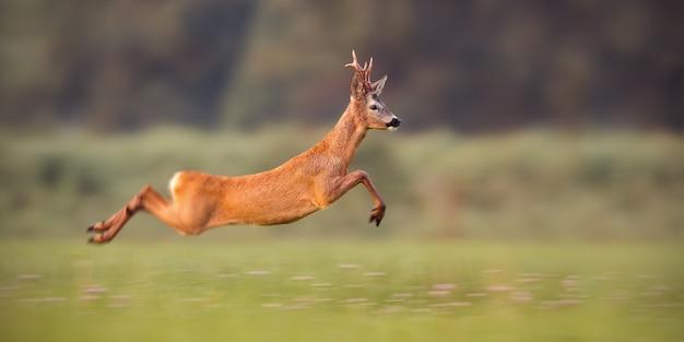 Roe deer buck sprinting fast in a field