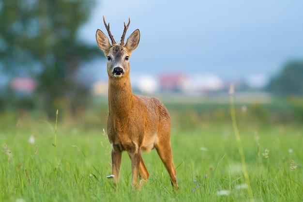 Roe deer buck standing on glade in civilization in summer.
