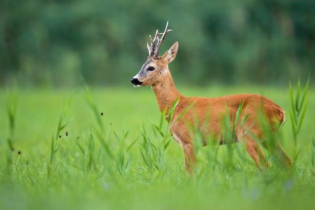 Самец косули, стоящий на зеленом луге в летней природе