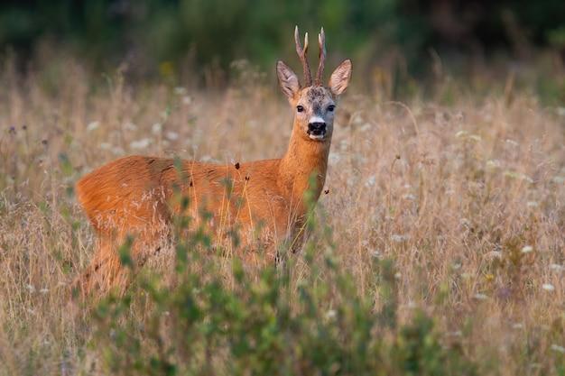 Самец косули, стоящий на выращенном поле в летней природе.