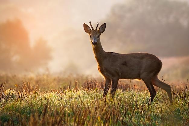 Roe deer buck standing on a stubble field