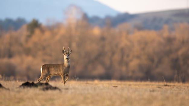 Самец косули, стоя с поднятой ногой на поле весной