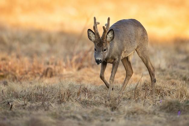Самец косули гуляет по сухому полю в солнечной весенней природе